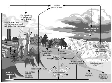 The sulfur cycle. (Illustration by Hans & Cassidy.)