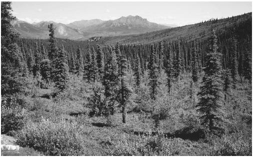 White spruce-willow taiga in Alaska. (Photograph by Charlie Ott. Photo Researchers Inc. Reproduced by permission.)